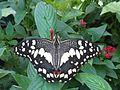 Papilio demoleus 5.jpg