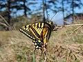 Papilio machaon (32985784013).jpg