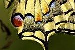 Papilio machaon 06.JPG