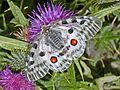 Papilionidae - Parnassius apollo-0.jpg