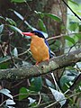 Paradise Kingfisher (32116740425).jpg