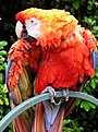 Parrot.red.macaw.1.arp.750pix.jpg