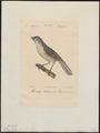 Parus bicolor - 1842-1848 - Print - Iconographia Zoologica - Special Collections University of Amsterdam - UBA01 IZ16100157.tif