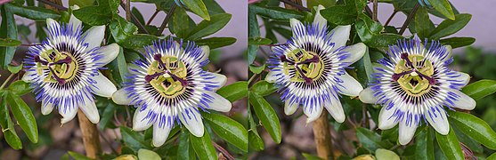 Passiflora caerulea STEREO (R-L) 2019-06-27.jpg