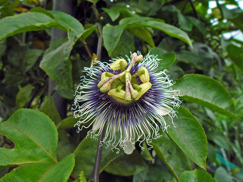 File:Passiflora edulis flower side view in Hong Kong May 10 2013.JPG