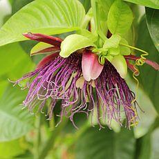 Passiflora quadrangularis-IMG 4473.jpg