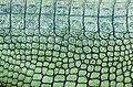 Patterns of Gharial.jpg