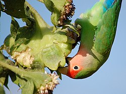 Peach-faced Lovebird (Agapornis roseicollis) -eating sunflower seeds.jpg