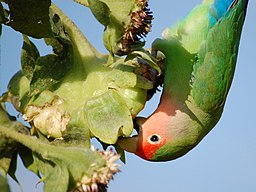 Peach-faced Lovebird (Agapornis roseicollis) -eating sunflower seeds