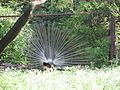 Peacock.04.jpg
