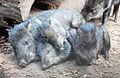 Pecari tajacu - Papiliorama, Swiss Tropical Gardens - 20100417.jpg