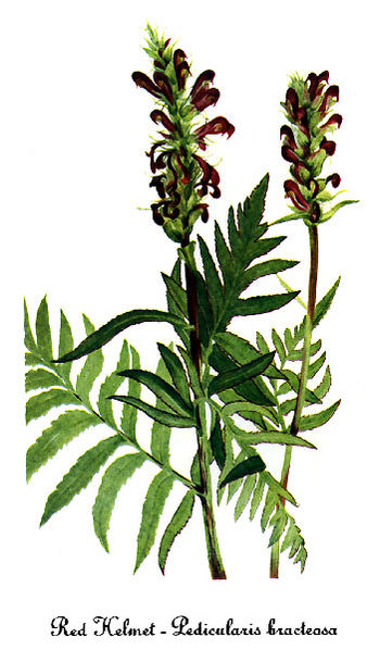 Watercolor painting of Pedicularis_bracteosa-2.