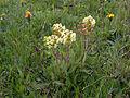 Pedicularis tuberosa plant.jpg