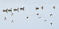 Peeps and Ducks (37034012091).jpg