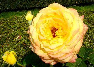 Peer gynt roses.jpg