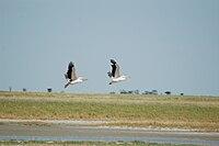 Pelecanus onocrotalus -Nata Bird Sanctuary, Botswana -two flying-8.jpg