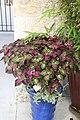 Perilla frutescens Magilla 5zz.jpg