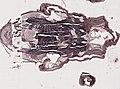 Periplaneta americana (YPM IZ 098956) 019.jpeg