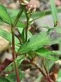 Persicaria maculosa 3.jpg