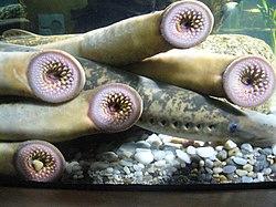 Petromyzon marinus.001 - Aquarium Finisterrae.jpg
