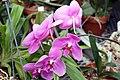 Phalaenopsis Maui Impressario x East Maui Princess 4zz.jpg