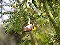 Phalangium opilio with parasitic Mite larvae 20060729 bottom.jpg