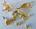 Phaseolus lunatus (Seeds).jpg