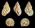 Phasianella variegata 02.JPG