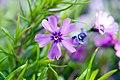 Phlox subulata Purple Beauty 1zz.jpg