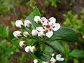 Photinia melanocarpa 2953.JPG