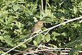 Phylloscopus trochilus - Willow Warbler, Adana 2016-12-31 02-3.jpg