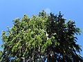 Picea breweriana - Flickr - theforestprimeval (1).jpg