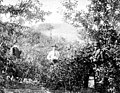 Picking apples near Spokane Falls, Washington, ca 1885 (WASTATE 7).jpeg