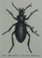 Picture Natural History - No 288 - The Carabus Beetle.png