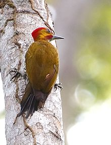 Piculus leucolaemus - White-throated woodpecker (male).jpg