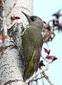 Picus viridis sharpei 079.jpg