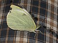 Pieris brassicae - Large white - Капустница (40281656695).jpg