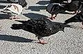 Pigeon feeding in Praça do Comércio, Lisbon.jpg