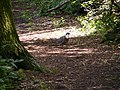 Pigeon in Furzefield Wood - geograph.org.uk - 1417896.jpg