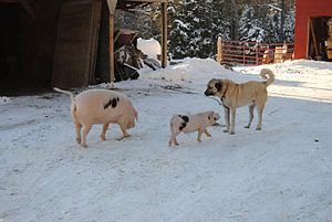 Gloucestershire Old Spots - A GOS sow and a GOS piglet meet a Kangal dog.