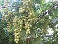 PikiWiki Israel 2447 Shtula אשכולות ענבים.jpg
