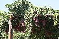 PikiWiki Israel 30143 Plants of Israel.jpg