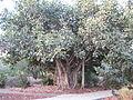 PikiWiki Israel 33134 Bengal Ficus in Nes Ammim.JPG