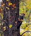 Pileated Woodpecker (4436794725).jpg