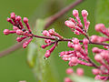 Pink buds (14029559188).jpg