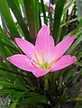 Pink coloured flower, Rajbiraj, Saptari.jpg
