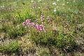 Pink flower group in Špilberk in Ocmanice, Třebíč District.JPG