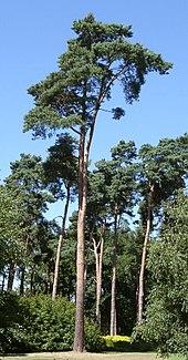 Liste Von Baumen Und Strauchern In Mitteleuropa Wikipedia