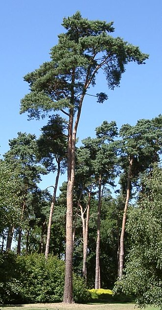 Spermatophyte - Scots pine, Pinus sylvestris, a member of the Pinophyta