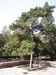 <i>Pinus tabuliformis</i> species of plant